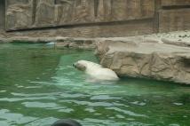 Hot Polar Bear