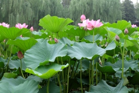 Giant Lilies from Beihai Lake