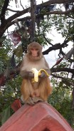 A monkey at the Monkey Temple, eating a banana that had been thrown at my friend by an over-enthusiastic Hari Krishna. You couldn't make it up.
