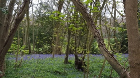 Bluebell Forest!